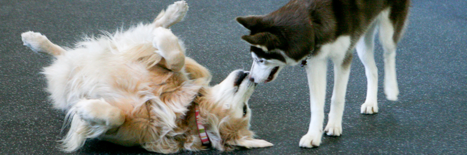 cute huskies playing with each other